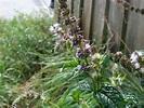 Todo lo que debes saber de la Mentha spicata, yerbabuena o ...