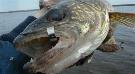report tagged saginaw bay walleyes rewards offered