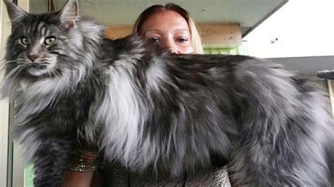 beautiful big cat maine coonlook  maine coon cat