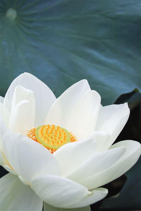 2016 White Lotus in 2020 | White lotus, Lotus, Blue lotus