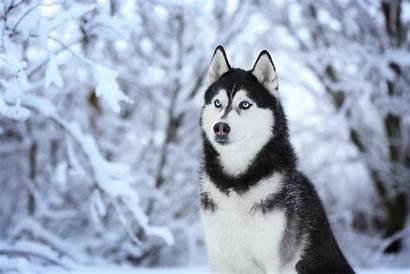 Husky Dog Wallpapers Siberian Tab Theme Huskies