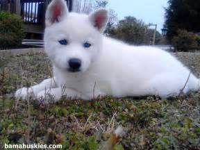 All White Siberian Husky Puppies