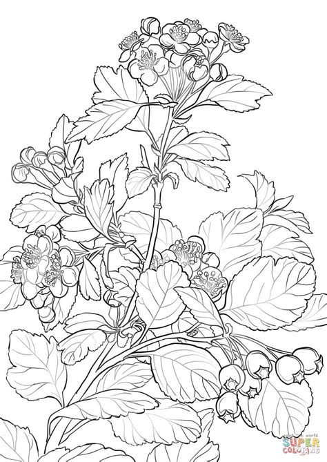 Hawthorn Flower Drawing at GetDrawings | Free download