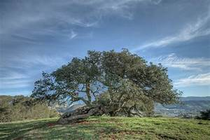 The Oak Essen : curtis essen look twice photography the morros bishop peak oak 3 ~ Watch28wear.com Haus und Dekorationen