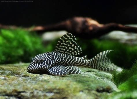 hypancistrus sp  queen arabesque pleco