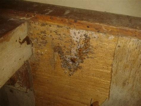bed bugs infestation bed bugs eggs wooden