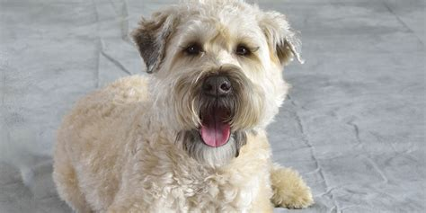 Wheaten Terrier Five Things You Didnt Know