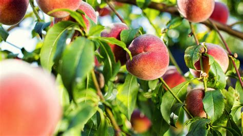 pfirsich gesundes und vitaminreiches obst