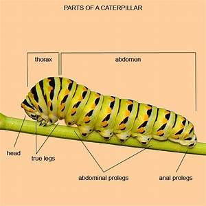 Of Caterpillar With Label