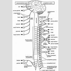 Nervous System Coloring Pages  Az Coloring Pages