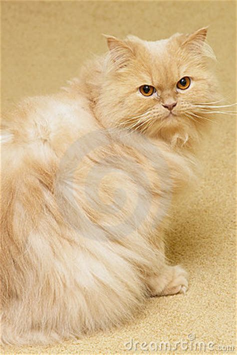 Persian Cat Royalty Free Stock Photo  Image 5500885