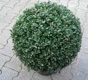 Ilex Hecke Giftig : stechpalme ilex crenata kugel oder japanische stechpalme ~ Lizthompson.info Haus und Dekorationen