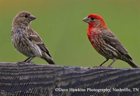 tennessee watchable wildlife house finch habitat