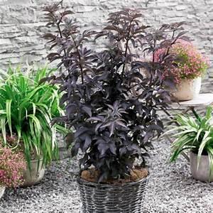 Holunder Black Beauty Essbar : schwarzer s ulen holunder black tower von g rtner p tschke ~ Michelbontemps.com Haus und Dekorationen