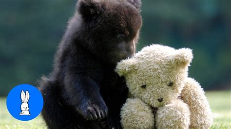 Baby Bear Cubs Playing