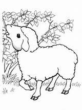 Sheep Coloring Pages Bull Elk Ducks Coloringtop sketch template