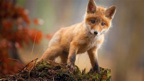 1920x1080 Hd Wallpaper Animals - 1920x1080 fox cub baby animal hd laptop hd 1080p