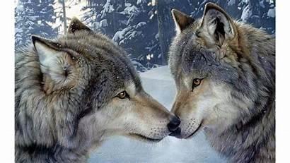 Wolf 4k Encounter Romance Wolves Wallpapers Desktop
