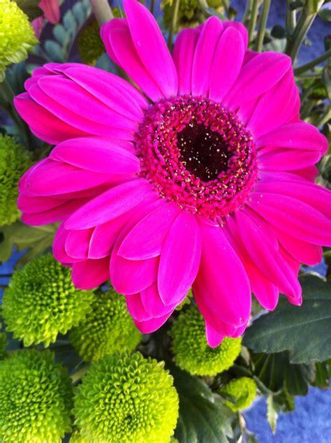 gerbera daisies colors 21 best gerberas fucsia images on pink