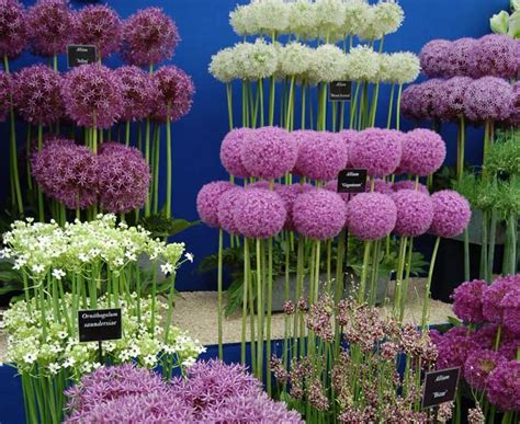 can you plant allium bulbs in bulb growing quiz including pictures of many different species