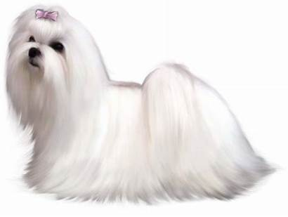 Maltese Dog Clipart Puppies Painted Fluffy Animals
