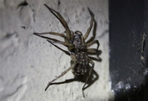 are wolf spiders dangerous wolf spiders archives what s that bug