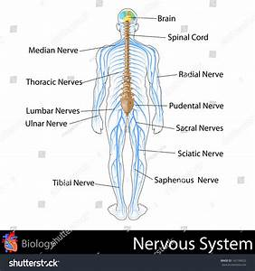 Easy Edit Vector Illustration Nervous System Stock Vector