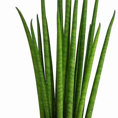 Mikado Plant Sansevieria Bacularis Snake Plants Hortology