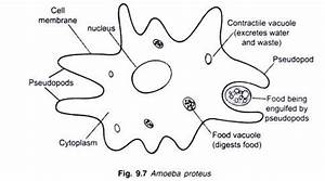The Structure and Life Cycle of Amoeba (With Diagram)