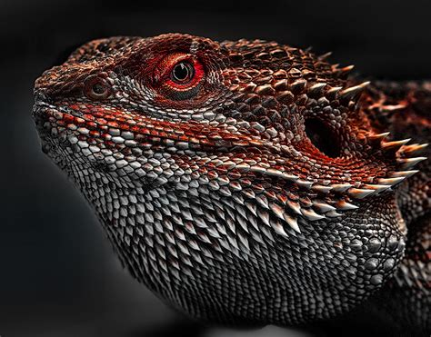 pogona vitticeps the central bearded dragon is a species