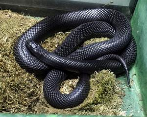 Mexican Black Kingsnake Facts and Pictures | Reptile Fact