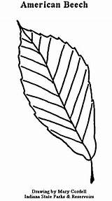 Coloring Pages Wheat Dnr Government Beech Plants Getcolorings American Printable Getdrawings Then Colorings sketch template