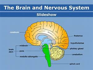 Best 25  Brain Anatomy And Function Ideas On Pinterest