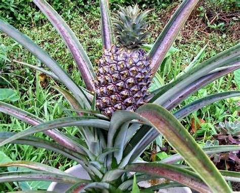 pineapple plant unusual looking plants and flowers from hawaii