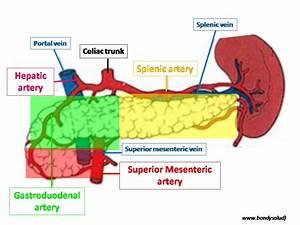 Pancreas: Blood Supply Of Pancreas