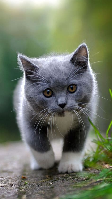 Grey Animal Wallpaper - grey kitten animals iphone wallpapers