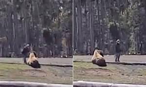 yellowstone tourist caught  video petting  bison