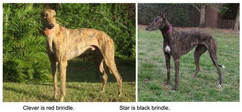 greyhounds bay area greyhound adoption