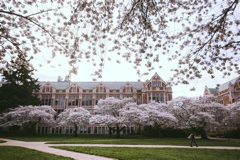 uw cherry blossoms expected    full bloom  week