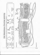 Membrane Comprehension Topcoloring Escolagersonalvesgui Labeling Dzofar sketch template