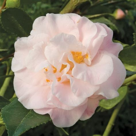 camellia fragrance hybrid lutchuensis camelia flowers pink sun double scented blooming nz tea growing light logees catalog plants gay views
