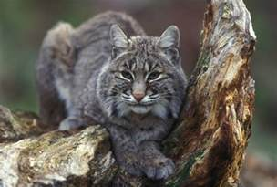 bob cat carnivores natureworks