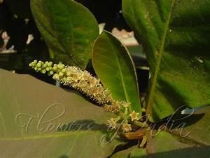 Terminalia catappa - Indian Almond