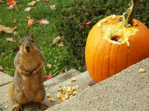 Does Hairspray Keep Squirrels Away From Pumpkins by End Of Harvest