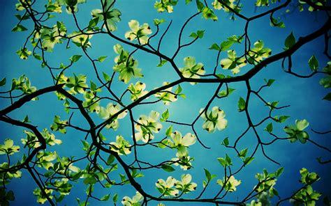 Beautiful Tree Wallpaper For Desktop by Dogwood Tree Desktop Hd Flower Wallpapers Dogwood Tree