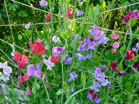 when to plant sweet peas outside how to grow sweet peas homeclick