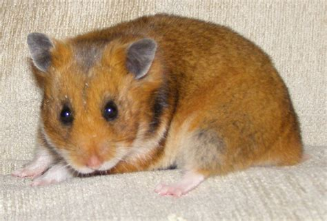 types of hamsters brandt s hamster natural history