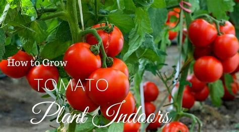 growing tomatoes   grow tomato plant  home home