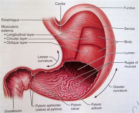 Diagram Of Stomach And by Anatomy And Physiology 2 Eportfolio Objective78 Baby