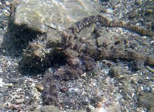 Wonderpus vs Mimic Octopus (NOTCOT)